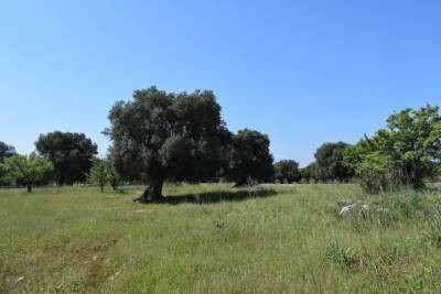 BEAUTIFUL OLIVE GROVE FOR SALE IN CAROVIGNO APULIA