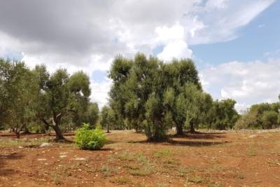 LAND WITH OLIVE GROVES IN CAROVIGNO
