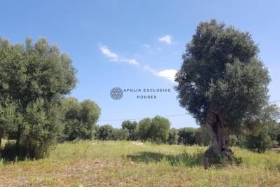 BEAUTIFUL OLIVE CENTURY GROVES IN CAROVIGNO