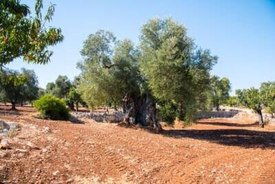 THOUSAND-YEARS-OLD OLIVE FIELD | in Carovigno