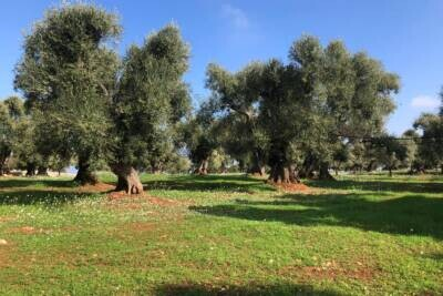 CENTURIES-OLD OLIVE LAND | in Carovigno